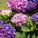 紫陽花が見頃ですね。:燕市大曲河川公園