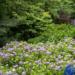 {田上町}護摩堂山あじさい園 :紫陽花の撮影におすすめ
